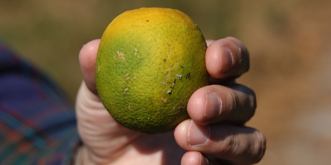 Scarred Fruit - Citrus Fruit Infestation